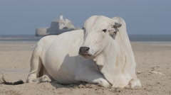 White indian cow on beach,Diu,India Stock Footage