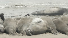 Pan Of Elephant Seals Lying On The Beach Stock Footage