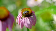 Beetle on a Echinacea flower Stock Footage