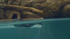 Humboldt penguin underwater Stock Footage
