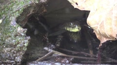 Water snake sticking its head out of water Stock Footage