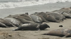 Elephant Seal Flopping On The Beach Stock Footage