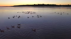 Geese swim peacefully in foggy river at dawn Stock Footage
