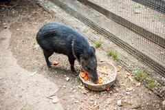 Wild boar eats feed Kuvituskuvat