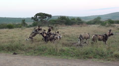 Wild dogs playing. Stock Footage