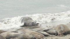 Elephant Seal Flopping On The Shore Stock Footage