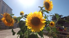 Our Lady of fatima church -  sunflower and city Stock Footage
