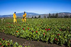 Technical fumigating a flower plantation outdoors. Kuvituskuvat
