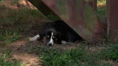 Sleepy Dog Stock Footage