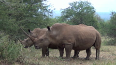White rhino with long and sharp horn. Stock Footage
