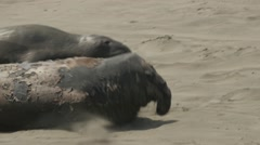 Elephant Seal Flopping To Resting Place Stock Footage