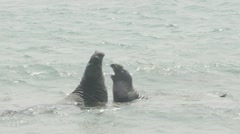 Two Elephant Seals Fighting In The Ocean Stock Footage
