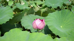Lotus bud and leaf in pond Stock Footage