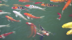Colorful carp fish swimming in water Stock Footage