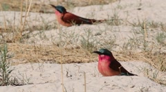 Large nesting colony of Nothern Carmine Bee-eater (Merops nubicoides) Stock Footage