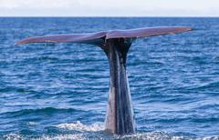 Tail of a Sperm Whale diving Stock Photos