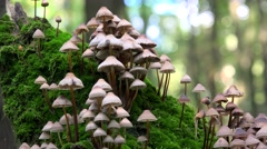 Big clusters of Coprinellus disseminatus (Fairy inkcap ) on a rotting tree trunk Stock Footage