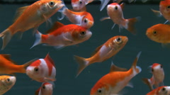 Freshwater pet fishes in fish tank Stock Footage