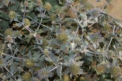 Sand Dune Thistle - Blue thistle blooming on French Atlantic coastline. Stock Photos
