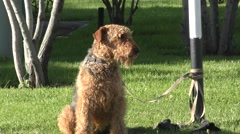 Dog breed Airedale terrier Stock Footage