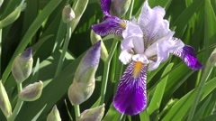 Flower of IRIS blue-blue color Stock Footage