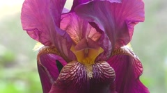 Flower of IRIS purple color Stock Footage