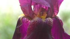 Flower of IRIS purple color Stock Footage