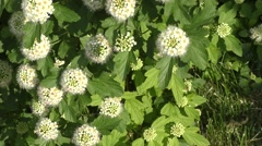 Small white flowers of spiraea. Stock Footage