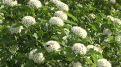 Small white flowers of spiraea. Stock Footage