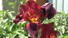 Iris flower chocolate color Stock Footage