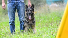German shepherd on a barking and biting training Stock Footage