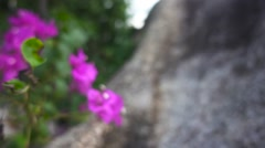 Camera zooms in Thai bougainvillea. Slow motion Stock Footage