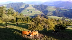 Scratching and eating alpine cows at the pasture. Stock Footage
