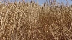 Eolic turbine wind renewable energy farm in wheat field steady shot Stock Footage