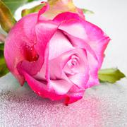 Beautiful pink rose flower on light background with drops and reflection, clo Stock Photos