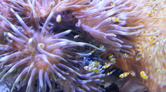 Clownfish swimming around the sea anemone Stock Footage