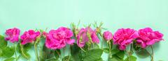 Flat lay of beautiful romantic pink rose flowers with buds and leaves on gree Stock Photos
