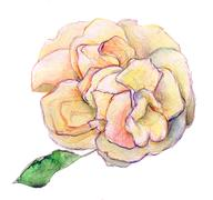 White shade of pink and yellow rose flower - watercolor isolated on  background Stock Illustration