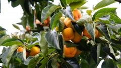 Fresh sweet persimmons on tree, Chiang Mai, Thailand. Stock Footage