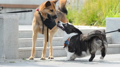 Two funny dogs playing Stock Footage