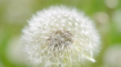 White dandelion in the wind close-up Stock Footage