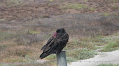 Turkey vulture california Stock Footage