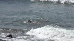 Elephant Seals fighting in sea Stock Footage