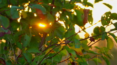 The rays of the sun at sunset through the green leaves of autumn Stock Footage