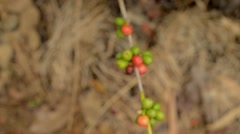 Colorful coffee ripe berries on coffee tree Stock Footage