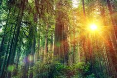 Scenic Forest Sunset. Redwood Forest Landscape. California United States Stock Photos