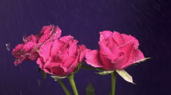 Three roses flower during a rain, drops of water shining, close up, slow motion Stock Footage