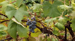 Picking grapes on farm Stock Footage