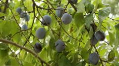 Prunes on tree Stock Footage