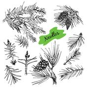 Collection with pine's needles. Stock Illustration